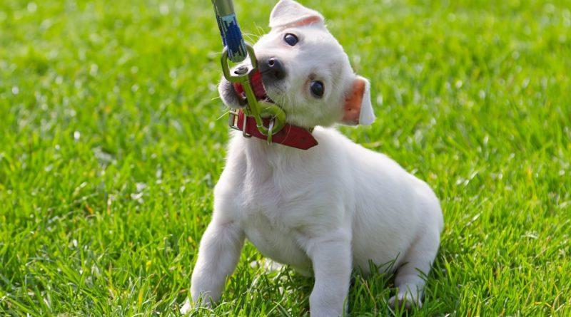 Как приручит щенка к прогулкам?