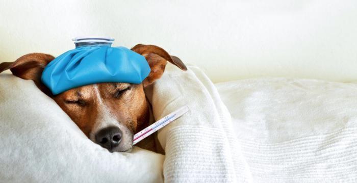 Помощь заболевшему другу: если собака заболела