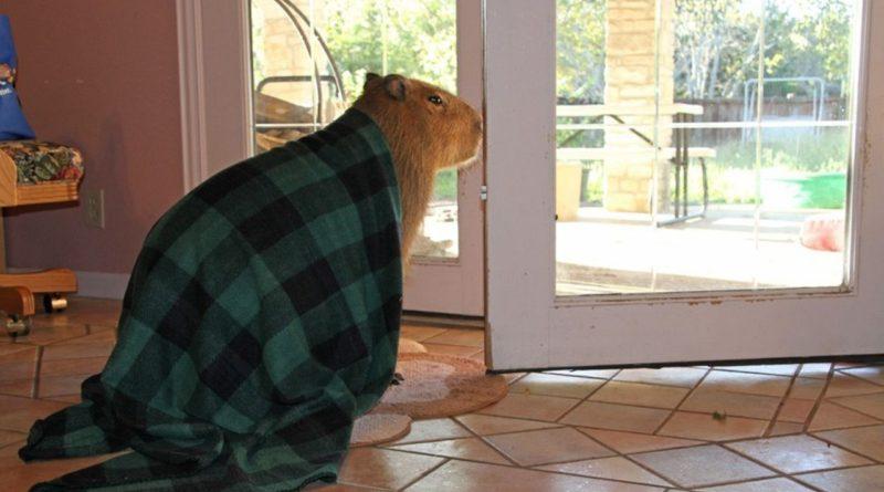 Капибара в домашних условиях: интересные факты, что за животное