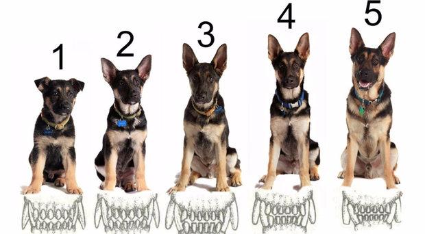 Как по зубам определяется возраст собаки