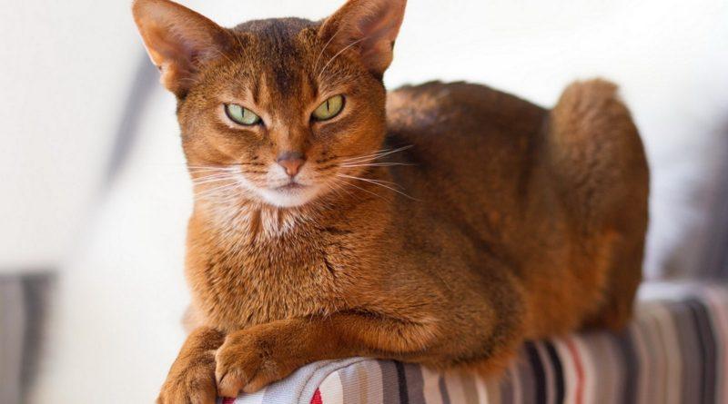 Какая порода кошек самая красивая?