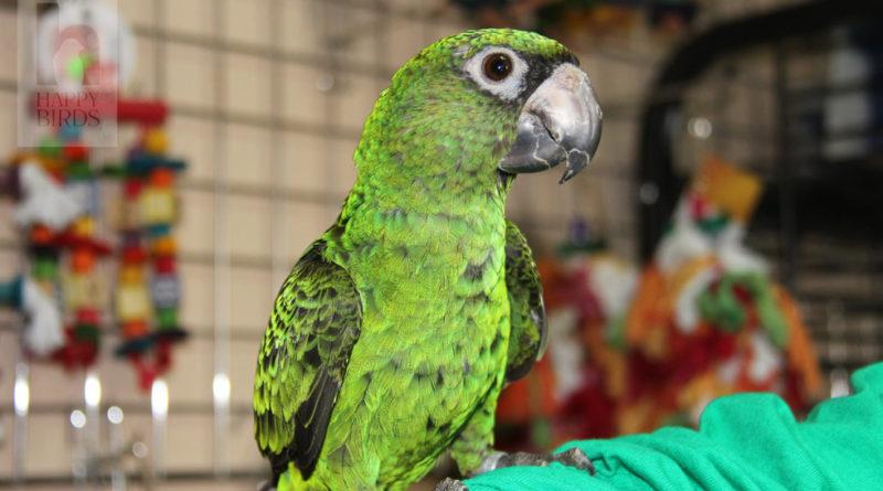 Виды и породы домашних попугаев
