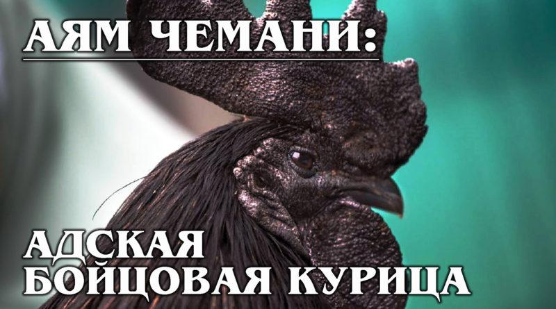 АЯМ ЧЕМАНИ: Бойцовая, чёрная и очень дорогая курица