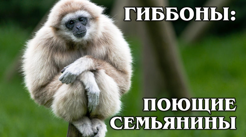 БЕЛОРУКИЙ ГИББОН: Идеальный поющий семьянин | Интересные факты про приматов и животных