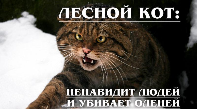 ДИКИЙ ЛЕСНОЙ КОТ: Мизантроп и ОЧЕНЬ дальний родственник наших домашних кошек