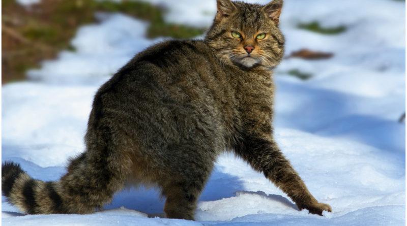 Дикий лесной кот: Ненавидит людей, убивает оленей