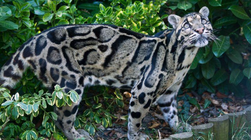 Дымчатый леопард: Последний из Саблезубых