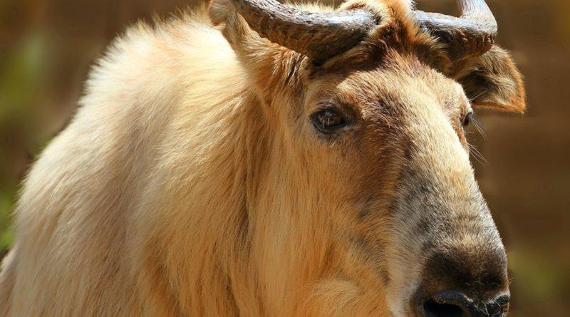 Такин: Смесь козла и коровы существует