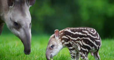 Тапир: Страшная смесь свиньи, слона, носорога и лошади