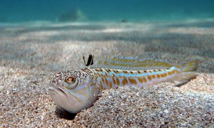 Большой Морской Дракон: Никогда не трогайте его, если будете на Черном море!