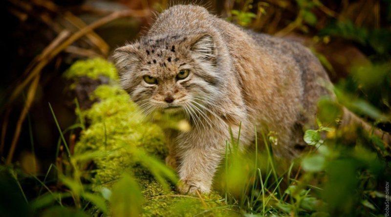 Манул: Кот, которого нельзя приручить