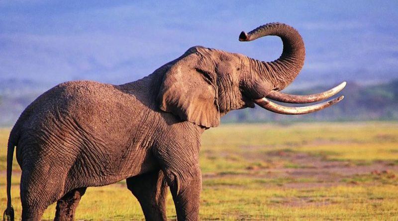 Африканский слон: Очень интересные факты