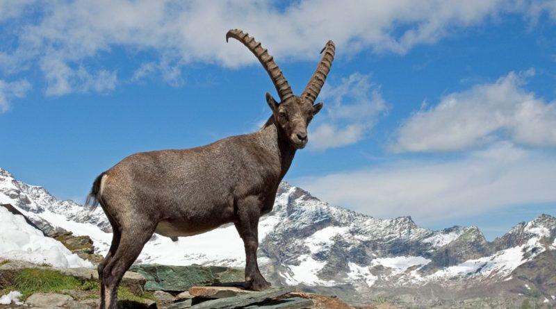 Ибекс: Плюёт на законы физики с высоты Альп