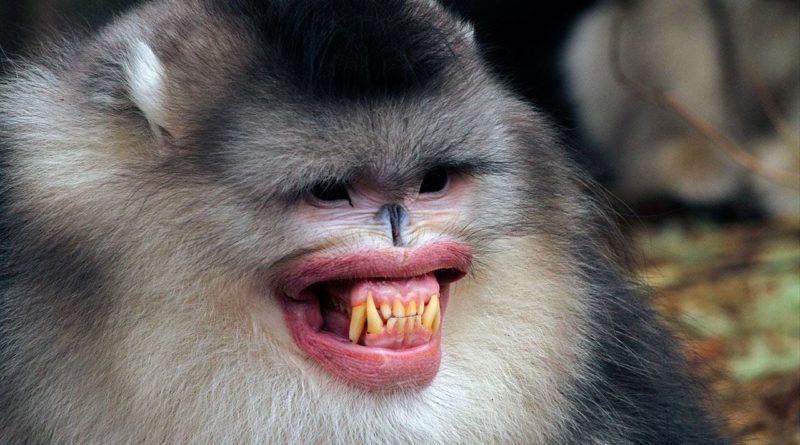 Ринопитек: обезьяны с обезображенным лицом