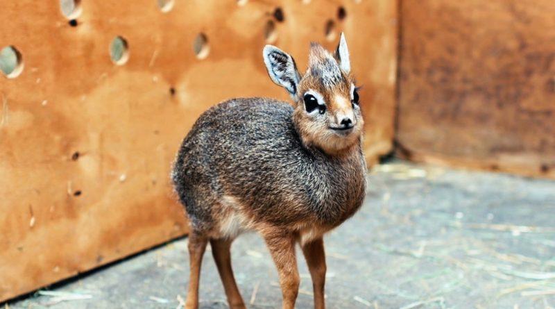 Карликовая Антилопа: Где живут олени размером с кошку?