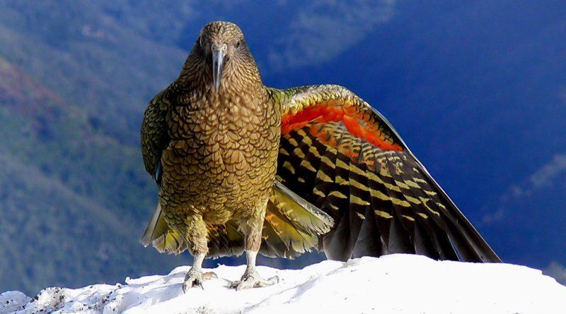 Кеа: Попугай-отморозок, которому место на Колыме