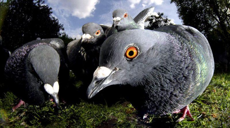 Голубь: Вы же всегда мечтали увидеть их птенцов?