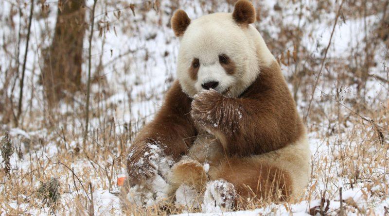 Большая коричневая панда: Зверь, о котором НИКТО НЕ рассказывает