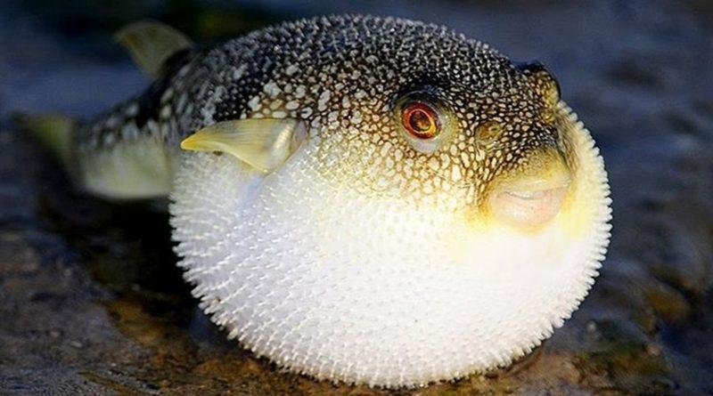 Фугу: Самая опасная рыба, тело которой пропитано смертью