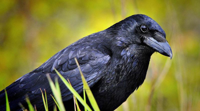 Ворона: Всегда издевается над горожанами