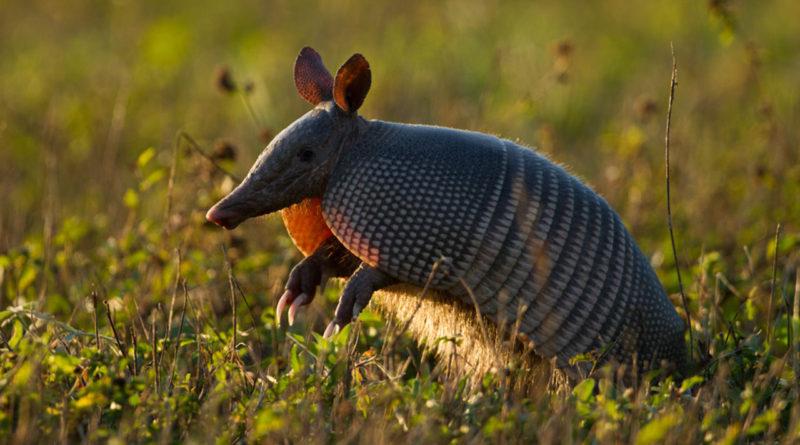 Броненосец: Милая зверушка оказалась сексуальным гигантом