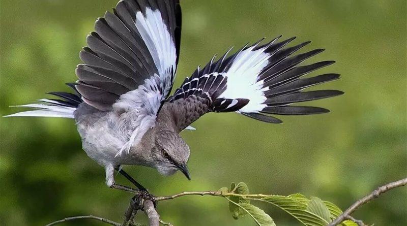 Пересмешник: Птица, которая издевается над всеми вокруг