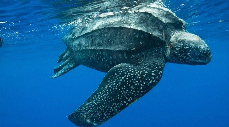 Кожистая черепаха: Что не так с РТОМ?