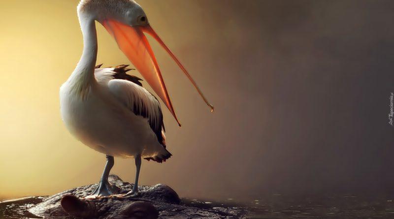 Пеликан: Ест голубей и разрывает свое сердце