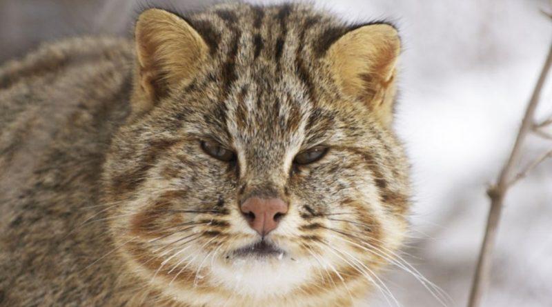 Амурская кошка: В тайге даже котики брутальны