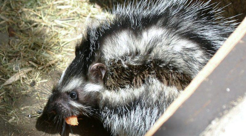 Косматый Хомяк: Животное с ядовитой шерстью