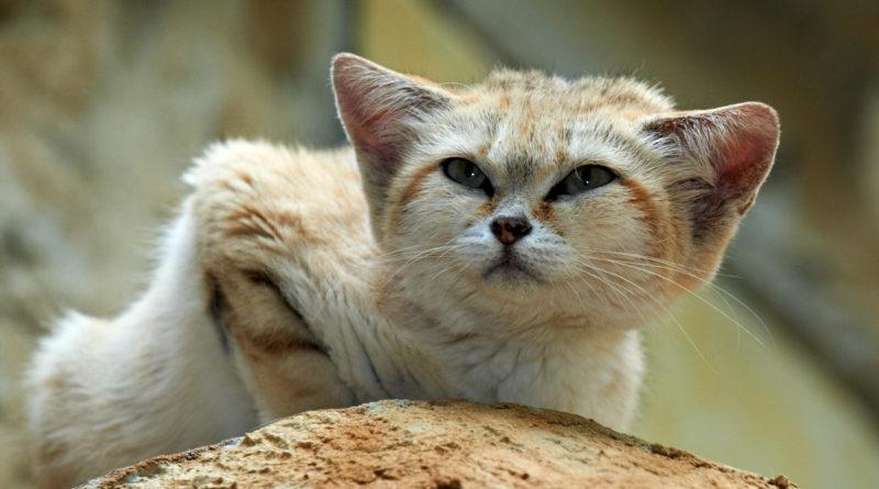 Барханный кот: Самый мелкий вид котиков