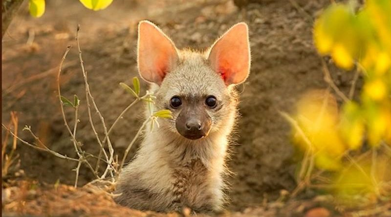 Земляной волк: Самые маленькие гиены