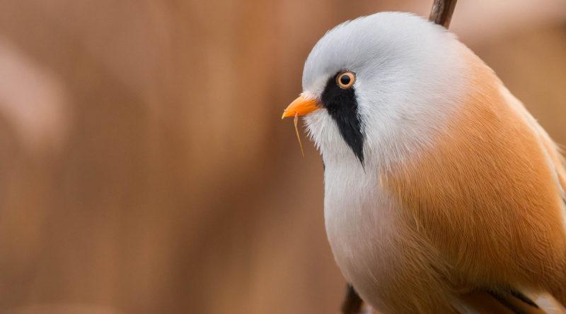 Усатая синица: Как может вообще летать круглая птица?