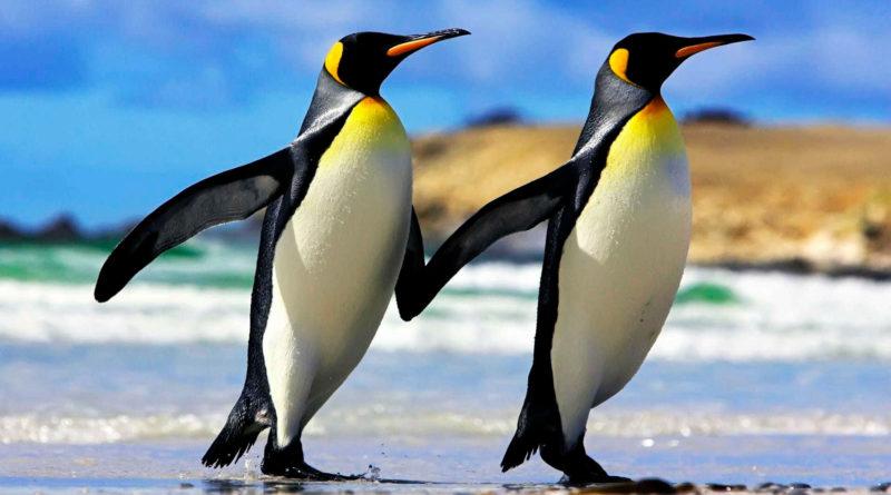 Императорский пингвин: Интересные факты в -70°С