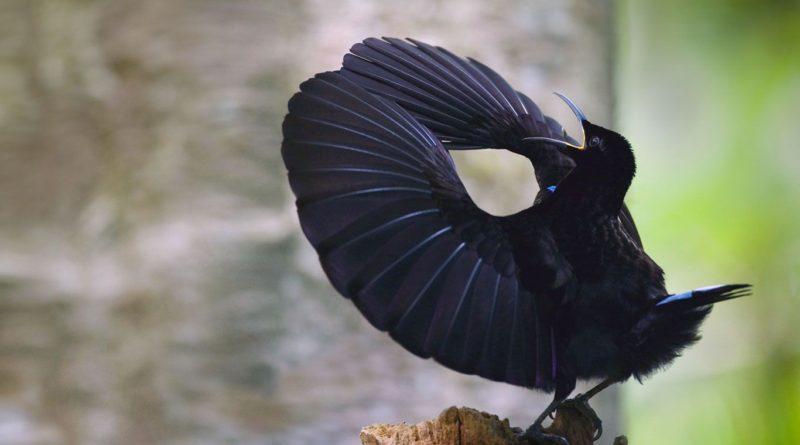 Чудная райская птица: Животное, которое ломает адекватное восприятие мира