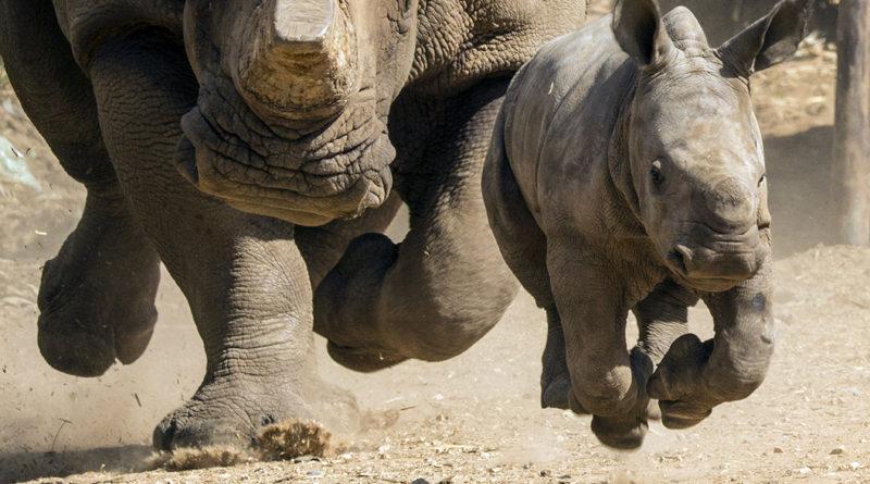 Белый носорог: Люди забирают себе все Лучшее!
