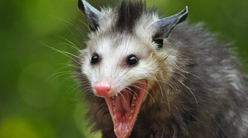 Опоссум: В каждой помойке США живет агрессивный свинокрыс
