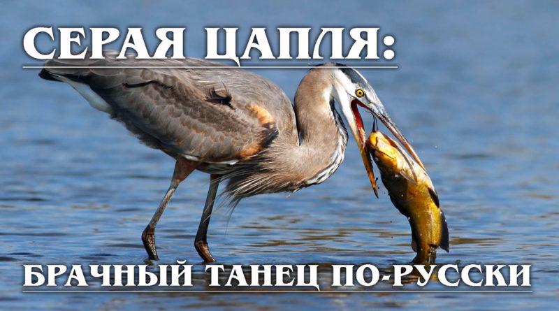 Приветствую, уважаемые натуралисты. С вами канал Zoo. Мы собираем большую видео энциклопедию обо всех животных планеты. Любите природу вместе с нами, подписывайтесь и поехали. Господа, на канале есть видео о китоглавах, африканских цаплях-переростках. Ну, а сегодняшний ролик будет посвящен отечественной пернатой разработке — серой цапле. Этот всем знакомый птиц тоже не лыком шит, и он наверняка сможет вас удивить. Поэтому приготовьтесь, нас ожидает увлекательное путешествие по водоёмам и болотам необъятной России-матушки. Серая цапля - птица отряда аистообразных, семейства цаплевых. Описание птицы вполне себе соответствует её видовому названию. Цапля действительно серая, чёрный хохолок и белая грудка — не в счёт. Клюв очень острый и довольно длинный — 10—13 см. Половой диморфизм у серой цапли выражен слабо. Оба пола практически неотличимы друг от друга даже с близкого расстояния. Ногам нашей героини позавидует любая топ модель, хоть по-русски, хоть по-американски. Длинные тонкие лапки позволяют птице без труда разгуливать по местным озёрам и болотам. Помимо этого, у манекенщиц есть ещё один повод для зависти — вес. При росте в 1 м, весит пичуга всего 1,5-2 кг. С изяществом у птицы, конечно, всё хуже, но пару тренировок и на подиум выпускать можно. Несмотря на то, что фигурке серой цапли могут позавидовать многие, ест эта животинка за двоих. Серая цапля питается исключительно животной пищей. Всё, что подаёт признаки жизни — тут же попадает в её желудок без каких-либо прелюдий. Рыб, лягушек и даже мелких млекопитающих красавица заглатывает просто напросто живьём. Это активный и очень прожорливый хищник, поедающий практически всех животных, с которыми в состоянии справиться. Охотничьи приёмы серой цапли достаточно разнообразны. Цапля применяет своеобразный метод привлечения добычи, раскрывая крылья и затеняя ими небольшой участок поверхности воды. Птица может выпугивать рыбу и мелких животных ногами, взбалтывая ими воду. Серые цапли нередко воруют добычу у других птиц,