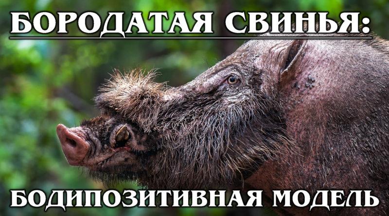 БОРОДАТАЯ СВИНЬЯ: Умное и НЕ грязное животное