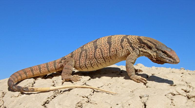 Песчаный варан: Это Австралия, детка!