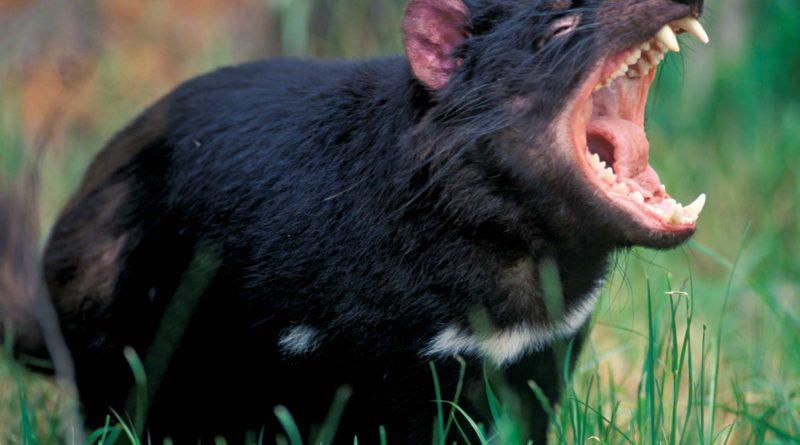 Тасманский дьявол: «Закрой свой Зубальник!» Рассказ про САМОГО БЕЗУМНОГО хищника