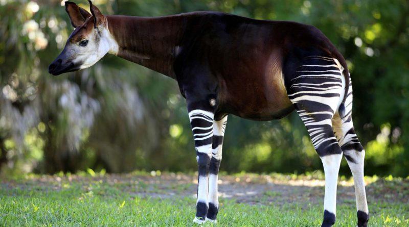 Окапи: Необычайно редкая и мало кому известная животина