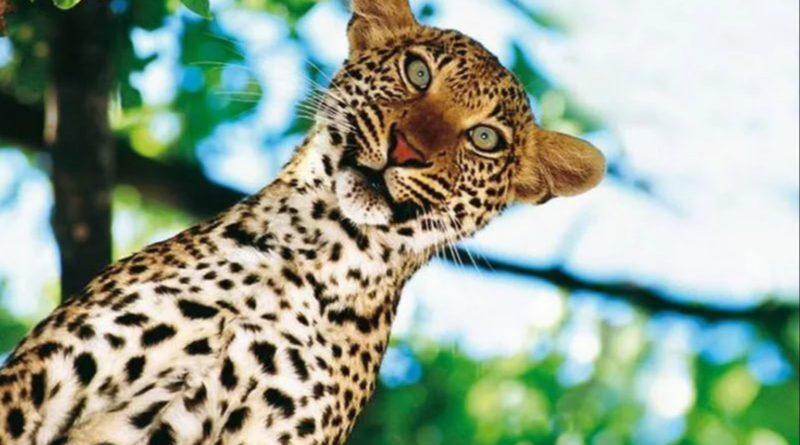 Леопард: Не самый незаметный КОТ