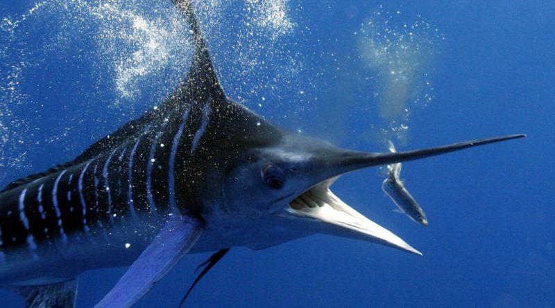 Рыба-меч или как не «подсесть» на иглу