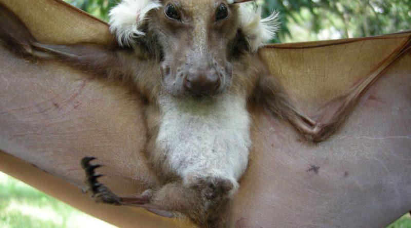 Молотоголовый крылан: Огромные летучие мыши с головами собак