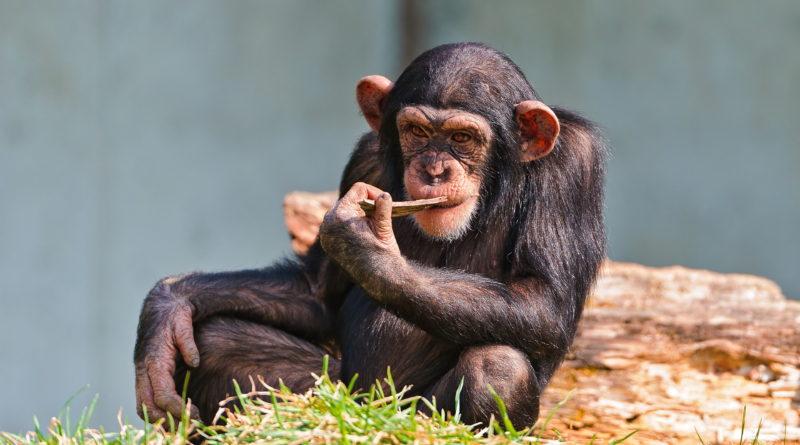 Шимпанзе: Планета обезьян скоро станет реальной