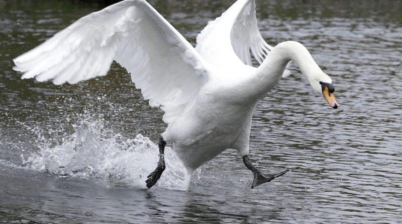 Лебедь: Почему это безумно опасное существо?