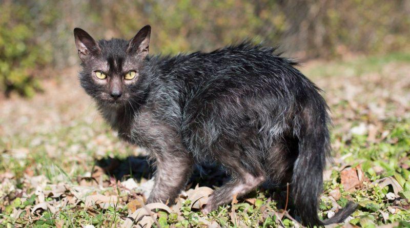Ликой: Мода на драных котов