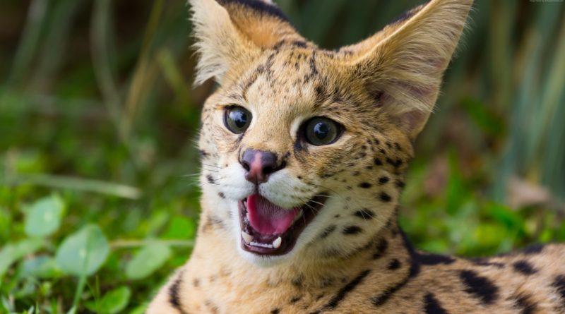 Сервал: Кошак, которого ВЫ вряд ли приучите к лотку