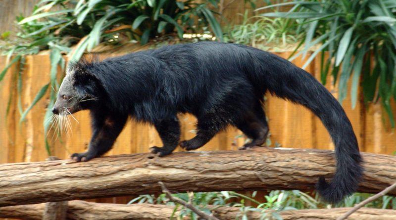 Бинтуронг: Медведь, который стал КОТОМ!